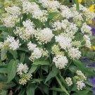 Kolokolo Store Milkweed Swamp  White Asclepias Incarnata 25 Seeds BOGO 50% off SALE