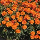 Kolokolo Store Cosmos Sulphur Orange 100 Seeds BOGO 50% off SALE