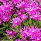 Kolokolo Store Ice Plant Table Mountain 25 Seeds BOGO 50% off SALE