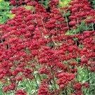 Kolokolo Store Jupiter's Beard Red 50 Seeds BOGO 50% off SALE