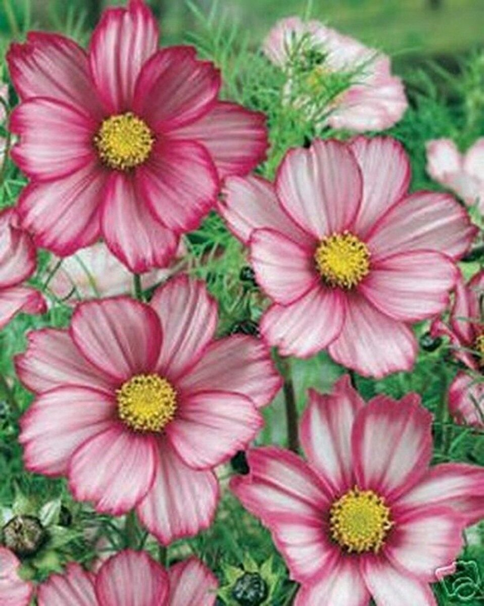 Kolokolo Store Cosmos Picotee Mix 100 Seeds BOGO 50% off SALE