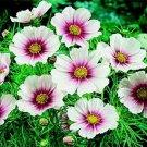Kolokolo Store Cosmos Daydream 100 Seeds BOGO 50% off SALE