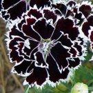 Kolokolo Store Dianthus Heddewigii 25 Seeds BOGO 50% off SALE