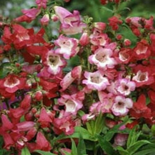 Kolokolo Store Penstemon Sensation Mix Hartwegii 100 Seeds BOGO 50% off SALE