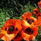 Kolokolo Store PoppyOrientale OrangeScarlet 200 Seeds BOGO 50% off SALE