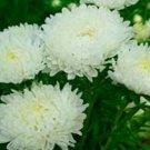 Kolokolo Store Aster  Peony Duchess White 50 Seeds BOGO 50% off SALE