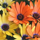Kolokolo Store African Daisy Mixed 100 Seeds BOGO 50% off SALE