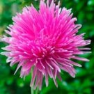 Kolokolo Store Aster Callistephus Tall Needle Unicom  Rose 50 Seeds BOGO 50% off SALE