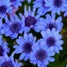 Kolokolo Store Blue DaisyFelicia Heterophylla Blue 25 seeds BOGO 50% off SALE