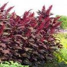 Kolokolo Store Amaranthus Red Spike 100 Seeds BOGO 50% off SALE