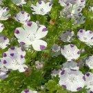 Kolokolo Store Five Spot Nemophila 100 Seeds   BOGO 50% off SALE