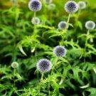 Kolokolo Store Globe Thistle (EchinopsRitro) White 25 Seeds BOGO 50% off SALE