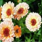 Kolokolo Store Calendula Pot Marigold Pink Surprise 50 Seeds   BOGO 50% off SALE