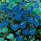 Kolokolo Store California Bluebells 500 Seeds   BOGO 50% off SALE