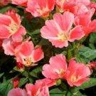 Kolokolo Store Godetia Orange Glory Grandiflora 100 seeds BOGO 50% off SALE