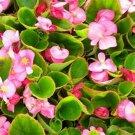 Kolokolo Store Begonia Wax Rose 50 Seeds BOGO 50% off SALE