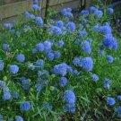 Kolokolo Store Gilia Capitata(Queen Anne's Thimbles) 100 Seeds BOGO 50% off SALE
