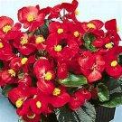Kolokolo Store Begonia Wax Red 50 Seeds BOGO 50% off SALE