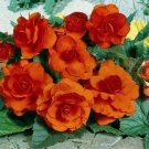 Kolokolo Store Begonia Tuberosa Double Orange 25 Seeds BOGO 50% off SALE