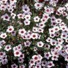 Kolokolo Store Flax Bright Eyes 100 seeds   BOGO 50% off SALE