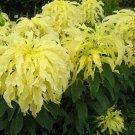 Kolokolo Store Amaranthus Yellow 100 Seeds BOGO 50% off SALE