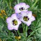 Kolokolo Store Bird's Eye Gilia Tricolor 200 Seeds   BOGO 50% off SALE