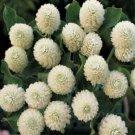 Kolokolo Store Gomphrena Globosa White 50 Seeds  BOGO 50% off SALE
