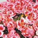Kolokolo Store Godetia Rembrandt Grandiflora 100 seeds BOGO 50% off SALE