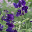 Kolokolo Store Sweet Peas Royal Navy Blue 15 seeds BOGO 50 % sale