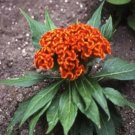 Kolokolo Store Cockscomb(Celosia Cristata) Orange 25 seeds BOGO 50% off SALE