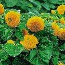 Kolokolo Store Sunflower Teddy Bear 100 Seeds BOGO 50% off SALE