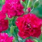 Kolokolo Store Carnation Chabaud Magenta 50 Seeds BOGO 50% off SALE
