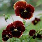 Kolokolo Store Pansy Claret  50 Seeds BOGO 50% off SALE