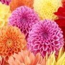 Kolokolo Store Dahlia  Pompon Mix 25 Seeds  BOGO 50% off SALE