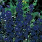 Kolokolo Store Delphinium / Larkspur Blue Spire  50 Seeds BOGO 50% off SALE