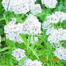 Kolokolo Store Dianthus Albus White 100 Seeds BOGO 50% off SALE
