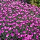 Kolokolo Store Dianthus Cheddar Pink 50 Seeds BOGO 50% off SALE