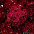 Kolokolo Store Dianthus Dunetti 200 Seeds BOGO 50% off SALE