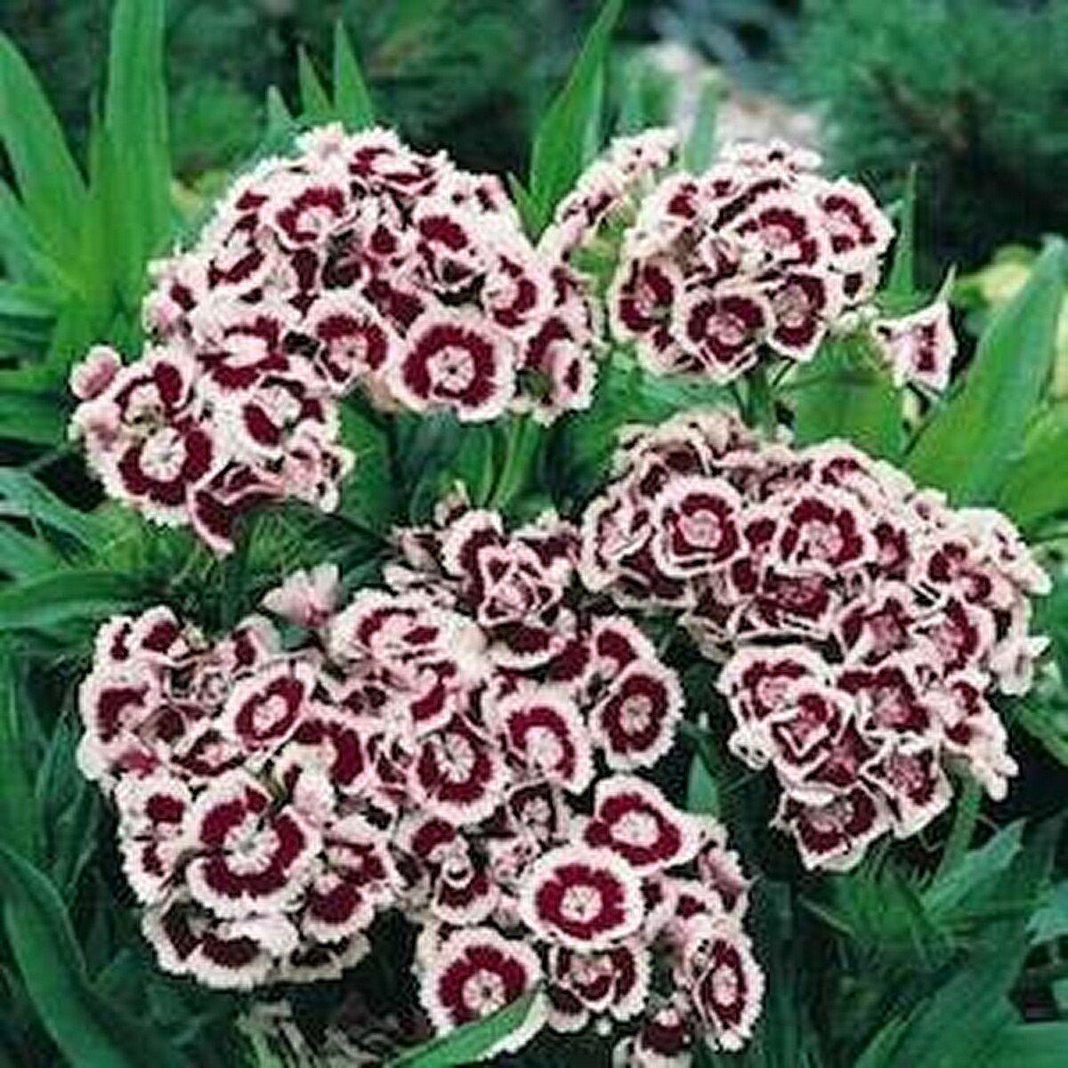 Kolokolo Store Dianthus Holborn 200 Seeds BOGO 50% off SALE