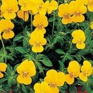 Kolokolo Store Viola Yellow Perfection 50 Seeds BOGO 50% off SALE