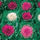Kolokolo Store Ornamental Cabbage brassica oleracae 50 Seeds BOGO 50% off SALE