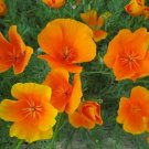 Kolokolo Store Poppy California Orange 500 Seeds BOGO 50% off SALE