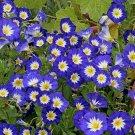 Kolokolo Store Morning Glory Ensign  Blue 50 Seeds BOGO 50% off SALE