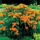 Kolokolo Store Milkweed Swamp  ButterflyAsclepias Tuberosa 25 Seeds BOGO 50% off SALE