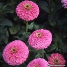 Kolokolo Store Zinnia Illumination 100 Seeds BOGO 50% off SALE