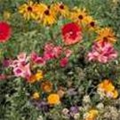 Kolokolo Store Wildflower Mix2 tsp. of seeds Approx. 8001000 seeds BOGO 50% off SALE