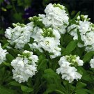 Kolokolo Store Stock Matthiola Incana White  50 Seeds BOGO 50% off SALE