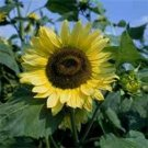 Kolokolo Store SunflowerLemon Queen 100 Seeds BOGO 50% off SALE