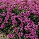 Kolokolo Store Verbena Canadensis (violet) 50 Seeds BOGO 50% off SALE