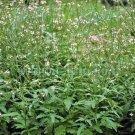 Kolokolo Store Verbena Common Vervain 50 Seeds BOGO 50% off SALE